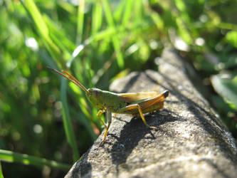 Grasshopper by BlackToucan