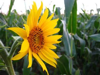 Sunflower by BlackToucan