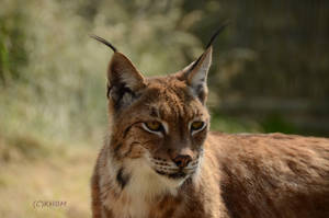 Eurasian Lynx by Mararda