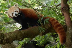Red Panda by Mararda