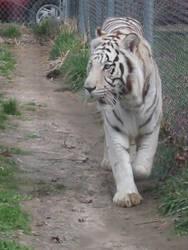 Tiger by Kitsune724
