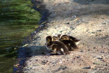 little ducks by MrGutierrez