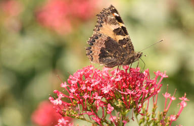 papillon (6) by Kianits
