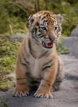 Tiger cub by S1ghtly