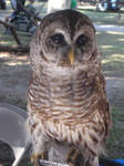 Barred Owl by SirenGarg