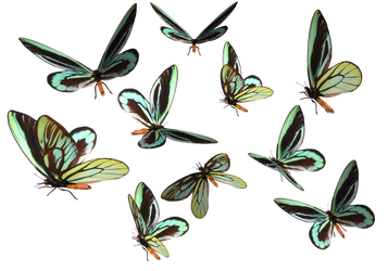 Queen Alexander Birdwing PNG by madetobeunique
