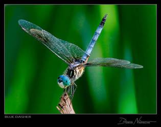 Blue Dasher by Davenit