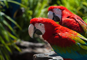 Green Winged Macaws by Elaihr