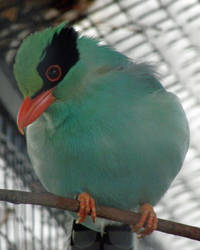 Green Magpie by Canislupuscorax