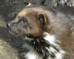 Wolverine Profile by Canislupuscorax