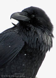 Yet Another Winter Raven Portrait III by Canislupuscorax