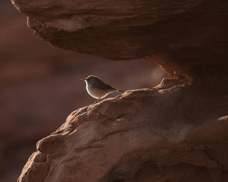Arizona Wren by Canislupuscorax