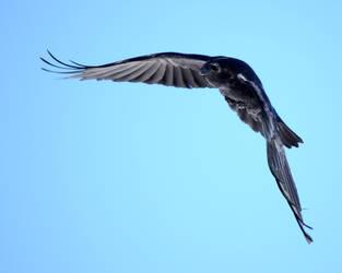 More Raven Flight by Canislupuscorax