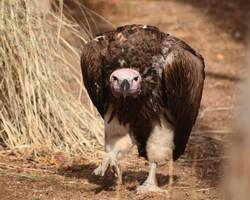 Vulturine Vulture by Canislupuscorax