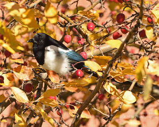 Autumnal Magpie by Canislupuscorax