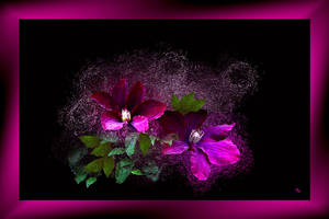Clematis by rembrantt
