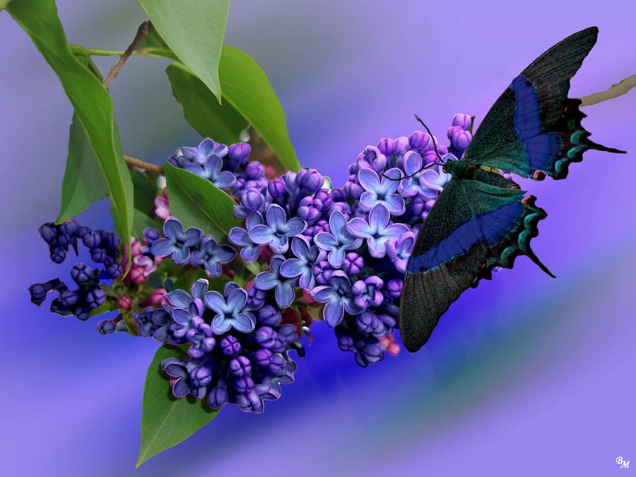 Flieder mit Schmetterling - Lilac with butterfly by rembrantt