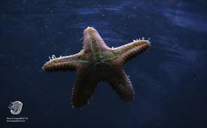 Random Starfish 1 by leopardwolf