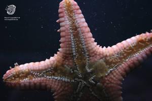 Starfish - Detailed Underside by leopardwolf