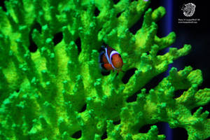 Perplexed Clownfish by leopardwolf