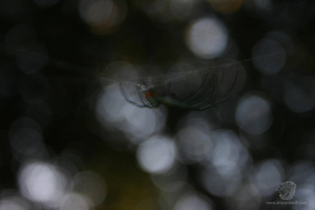 Spooky Orchard Spider 2 by leopardwolf