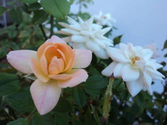 Rose's envy by paria228899