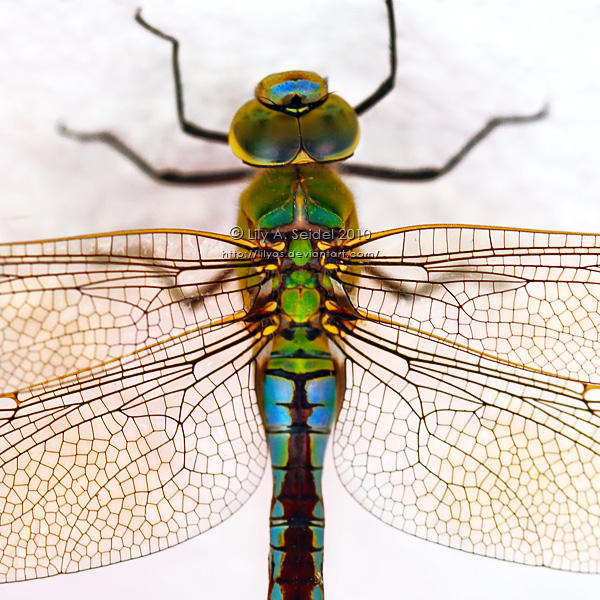 Dragonfly by Lilyas