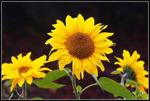 Sunflowers In Your Heart by Lilyas