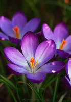 First Spring Blossom by Lilyas