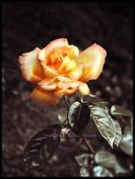 Golden June Rose by Lilyas