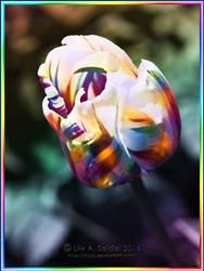 Rainbow Tulip by Lilyas