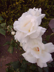 White Roses by Sombrisio