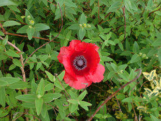 Perfect Poppy by Sombrisio
