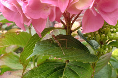 Guest on hydrangea by Sombrisio