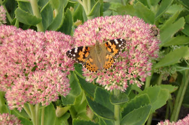 Painted Lady on the Rest by Sombrisio
