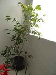 Ficus by call-me-Karei
