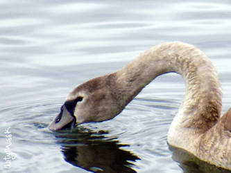 Baby Swan by ArtyMissK