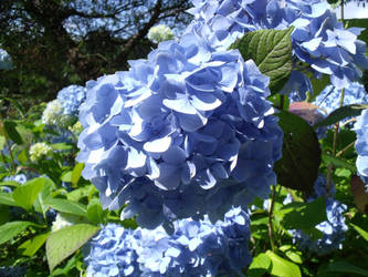 Blue Hydrangea. by Courtiepona