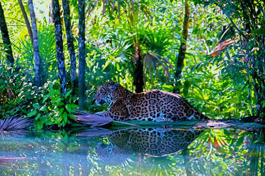 Jaguar Serene by Shaded Pool by FromtheGalaxy