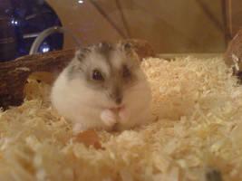 Hamster by nordischeWut