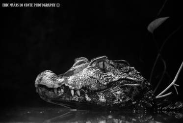 Crocodile smile by EricLoConte