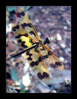 Dragonfly Series VI by wolfskin