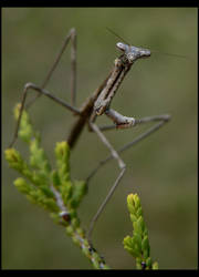 Posed Mantid by wolfskin
