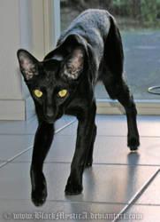 Nintu the household hunter by FelisGlacialis