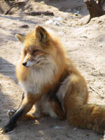 Red Fox 08 by FoxRAGE-Stock