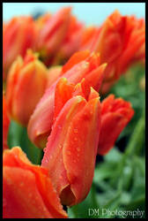 Tulip Town VIII by davidmoakes
