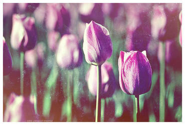 Tulipmania by unsweet
