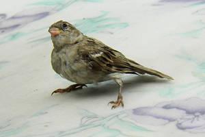 house sparrow on plastic roof by kumarvijay1708