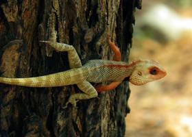 colored garden lizard by kumarvijay1708