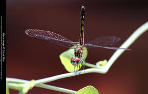 Dragonfly Stock 1 by Cassy-Blue
